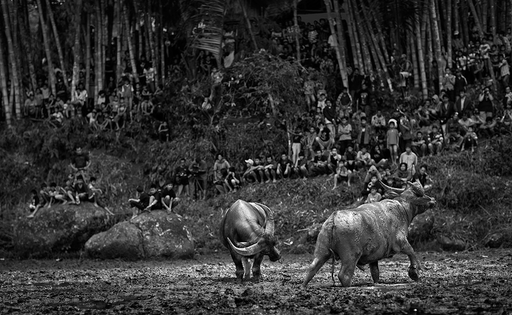 Bullfight ~ Dampak.jpg