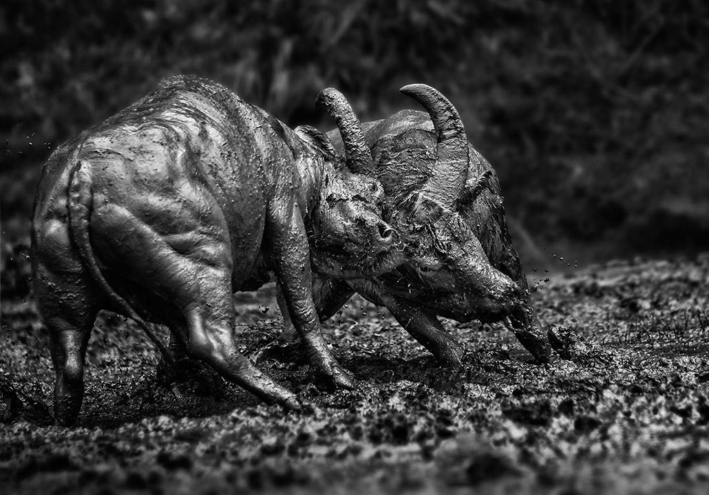 Bullfight ~ Dampak (2).jpg