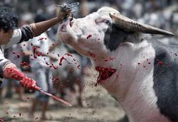 tedong-saleco-buffalo-sacrifice-funeral-