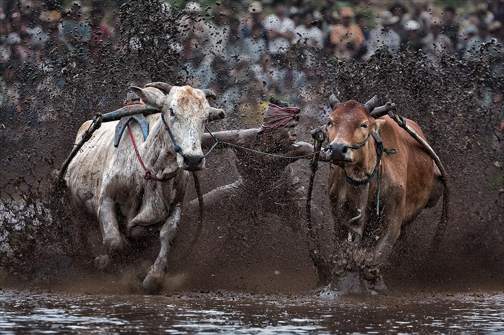 Pacu Jawi ~ Flying Cows.jpg
