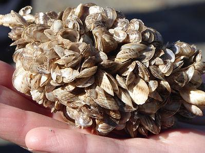 invasive mussels_March 2015_LScott.JPG