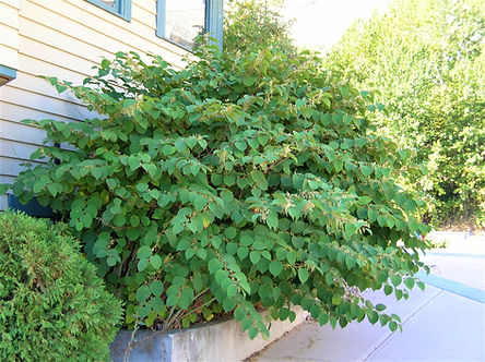 knotweed_Oct 2008_LScott 006.jpg