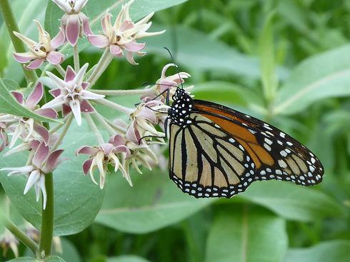 Monarch_2014_LScott 001.JPG