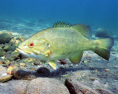 Smallmouth Bass_ U.S. Fish and Wildlife