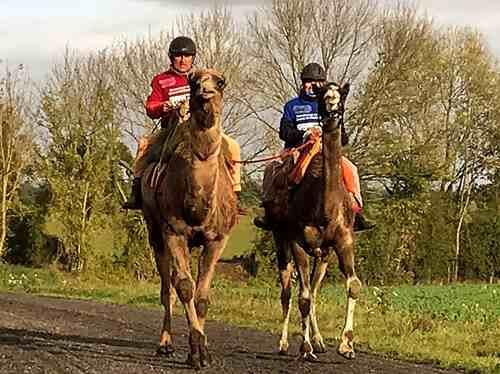 Thenailles : un semi-marathon à dromadaire ! Olivier Philipponneau monte une équipe de France pour u