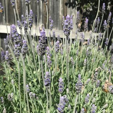 lavender along our drive