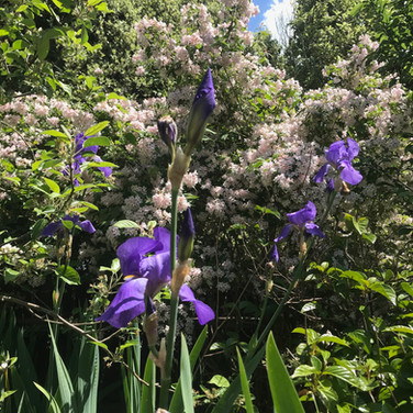 irises under our flowering aplle tree