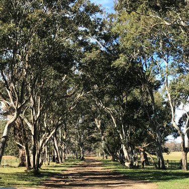 an avenue of eucalypts