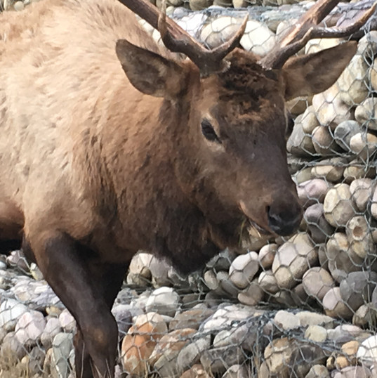 Canadian wildlife at Jasper, Canada