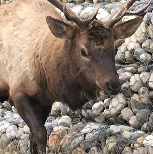 Canadian wildlife at Jasper, Canada