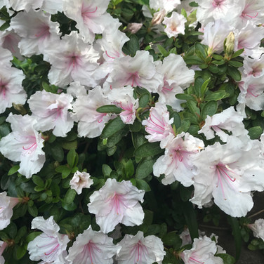 gorgoues azaleas