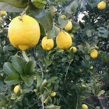 our lemon tree