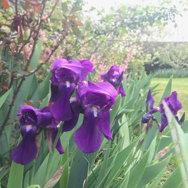 irises in the front garden