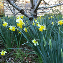 daffodis under our apple tree