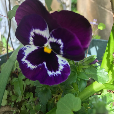 who doesnt love a perfect pansy?