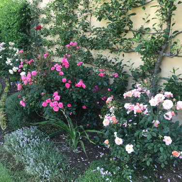 roses and espaliered pears along our house