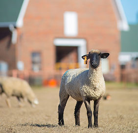 20151202-45252 sheep.jpg