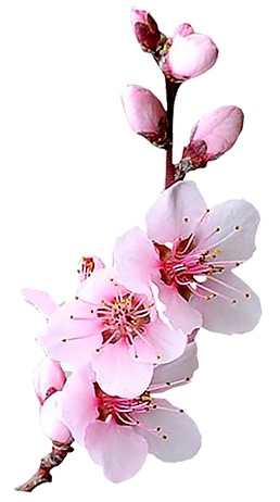 almond blossom1 png.png