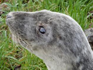 grijze zeehond jong