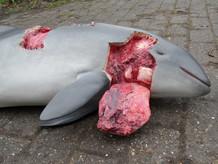 bruinvis door zeehond gegrepen