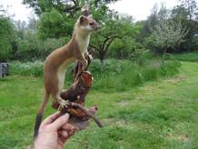 hermelijn