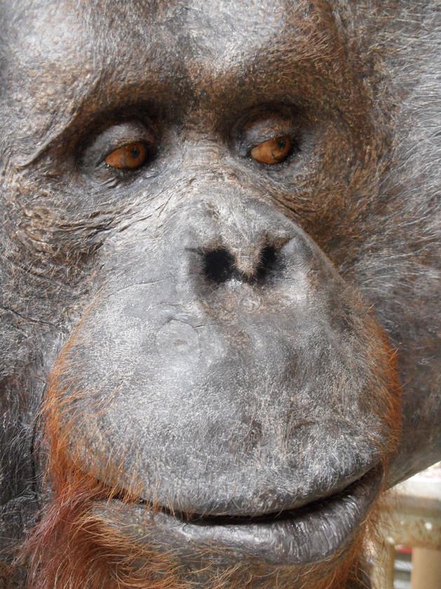 orang oetan denkt er het zijne van
