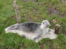 grijze zeehondpub