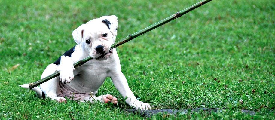 Education & rééducation comportementale du chien de compagnie et de sport