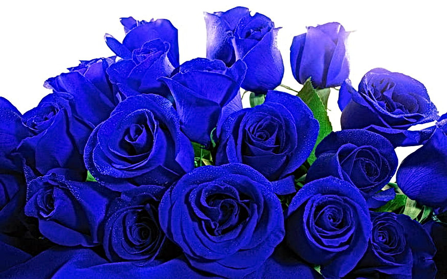 blue-roses-rose-flowers-1920x1200-wallpa