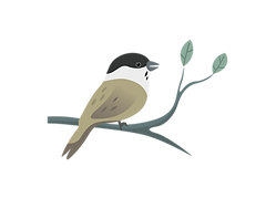 Willow tit.png