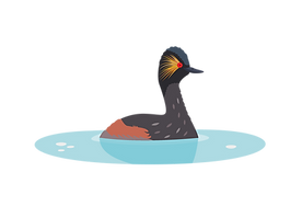 Black necked grebe.png
