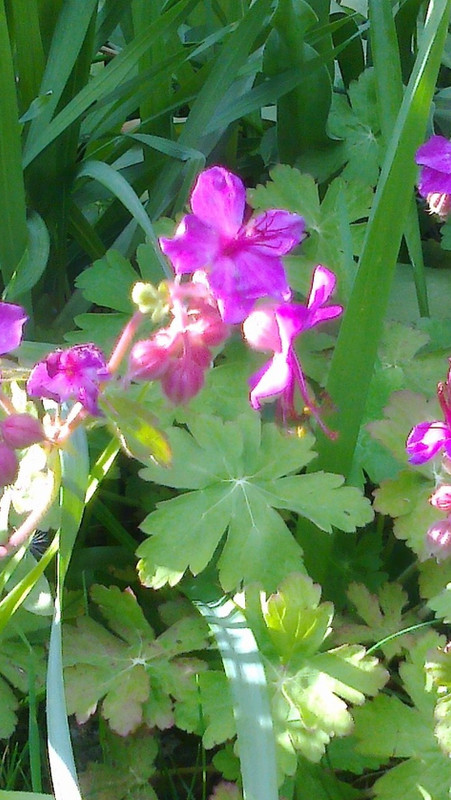 Geraniums at Court Farm 1st May 2017 (CROPPED).jpg