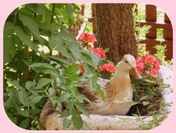 Our blondie, the prettiest duck