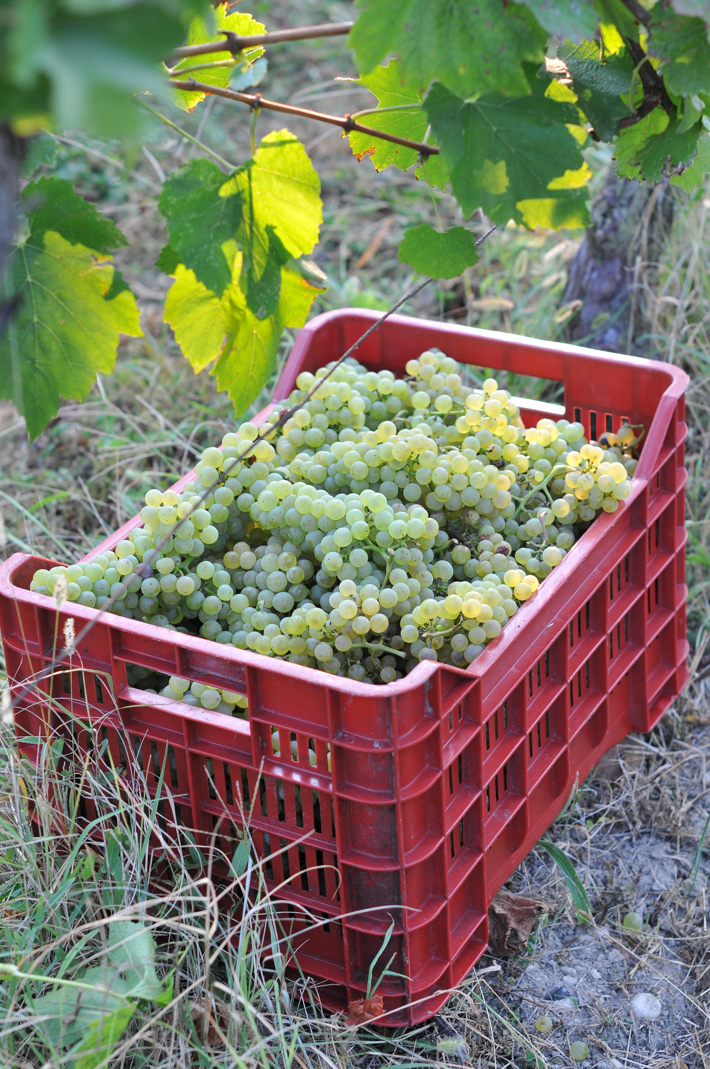 Lugana grapes