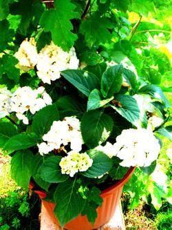 our Hydrangeas