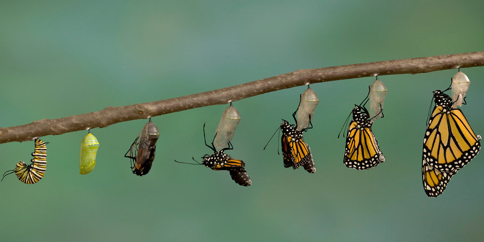 monarch-butterfly-emerging-from-its-chry