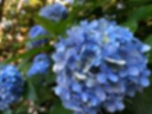 blue hydrangea.JPG