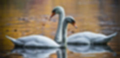 swans-in-love-picture-id498992736.jpg