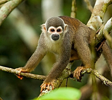 sacha lodge monkey.jpg