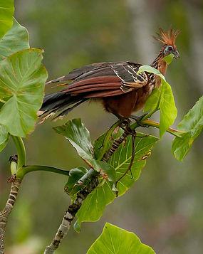 sacha lodge birds.jpg
