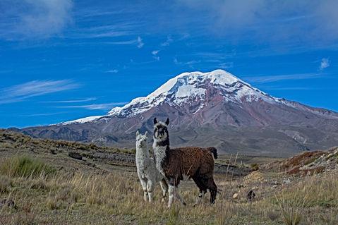 7 Chimborazo llama.jpg