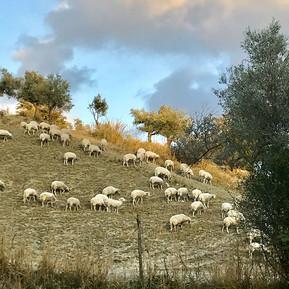 Glückliche Schafe von unseren Schäfern Rafaele und Vincenzo