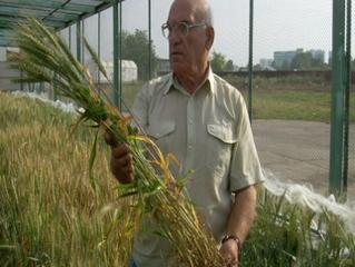Новости лаборатории селекции и первичного семеноводства озимой пшеницы ФГБНУ ФИЦ «Немчиновка»
