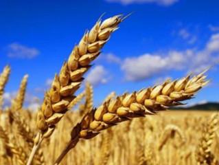 Предлагаем на реализацию семена сортов озимой пшеницы.