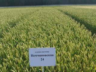 Озимая мягкая пшеница, сорт Немчиновская 24