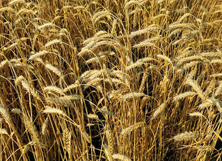 Рекомендации  по подкормке озимой пшеницы в Нечерноземной зоне РФ