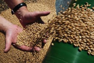Какой сорт озимой пшеницы выбрать для осеннего посева 2020 г.?