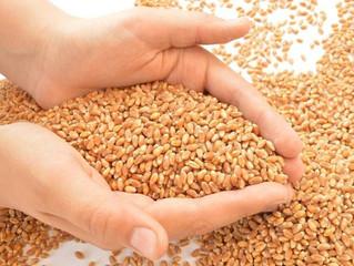 Предлагаем на реализацию оригинальные семена озимой пшеницы питомника размножения 2 года и суперэлит