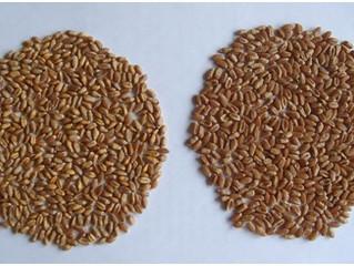 Услуги нашего института - проведение анализа качества зерна.