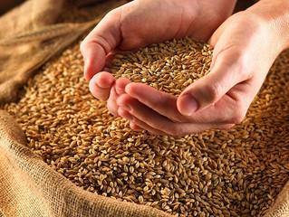 Реализуем оригинальные и элитные семена озимой пшеницы